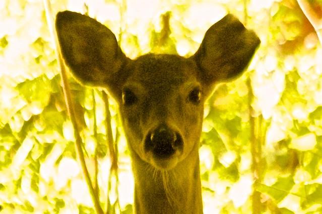 Beautiful One and One-Half Ear Deer