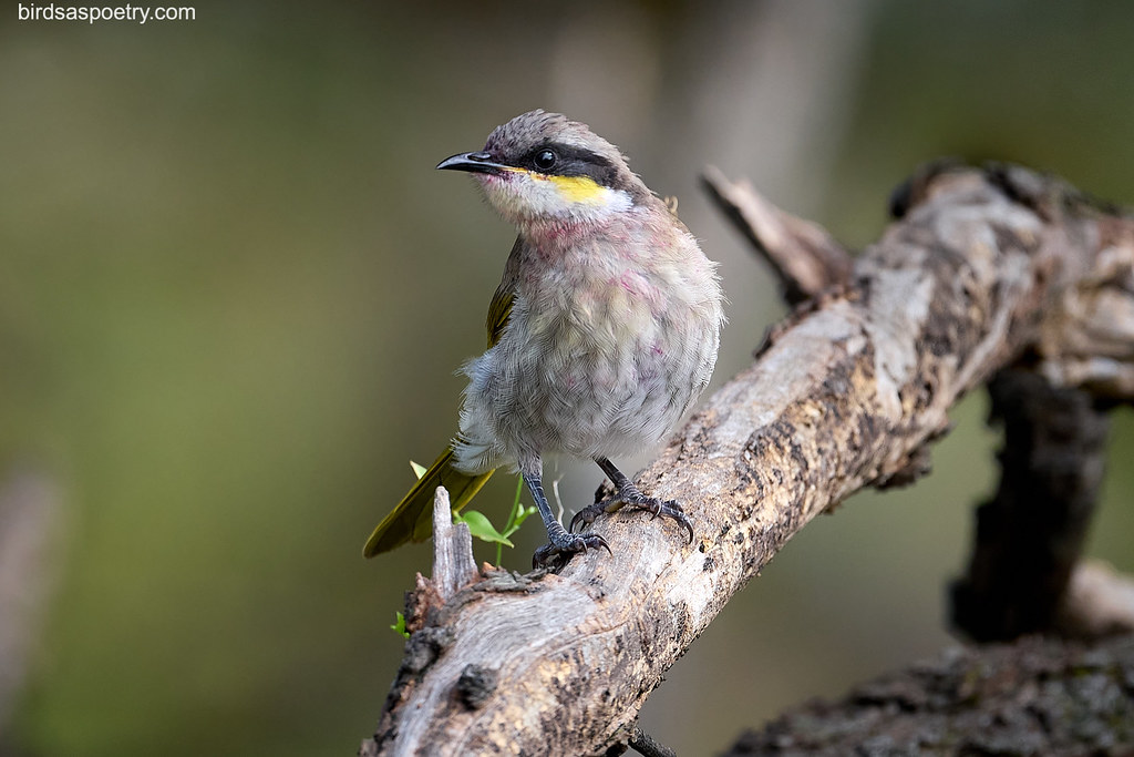 Singing Honeyeater:Wipe your Bib