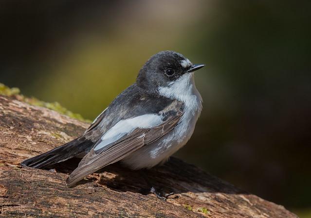 Pied Flycatcher male. Padley Gorge, Derbyshire Peak District. DSC_9392.jpg
