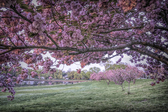 cherry canopy