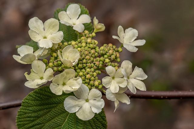 Alderleaf Viburnum (Hobblebush)