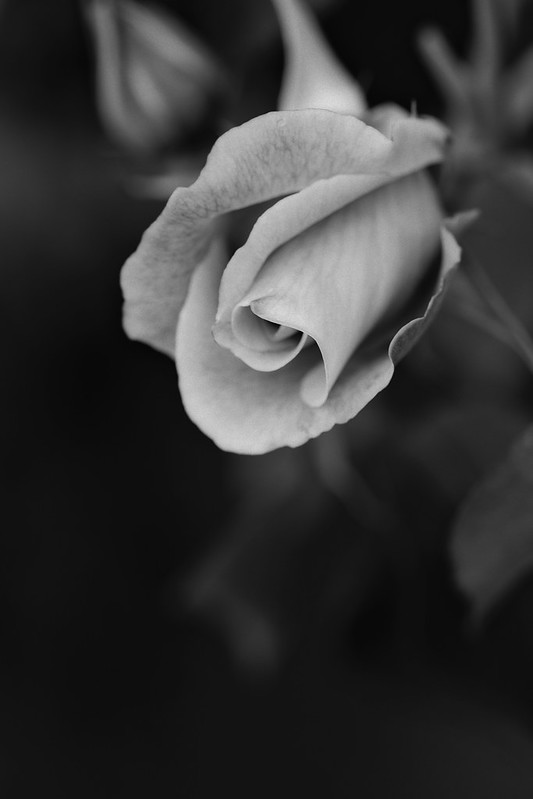 A Rose of Monochrome
