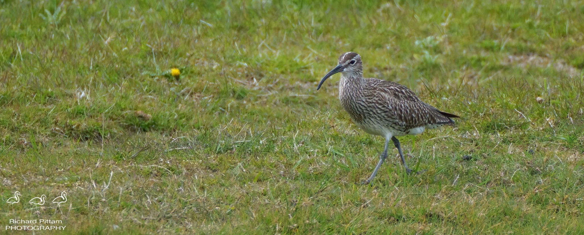 Whimbrel [ distant]