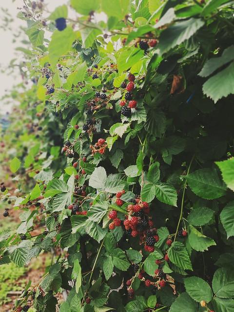 Strawberry/Berries