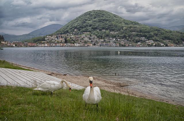 Swans at Lugano Lake