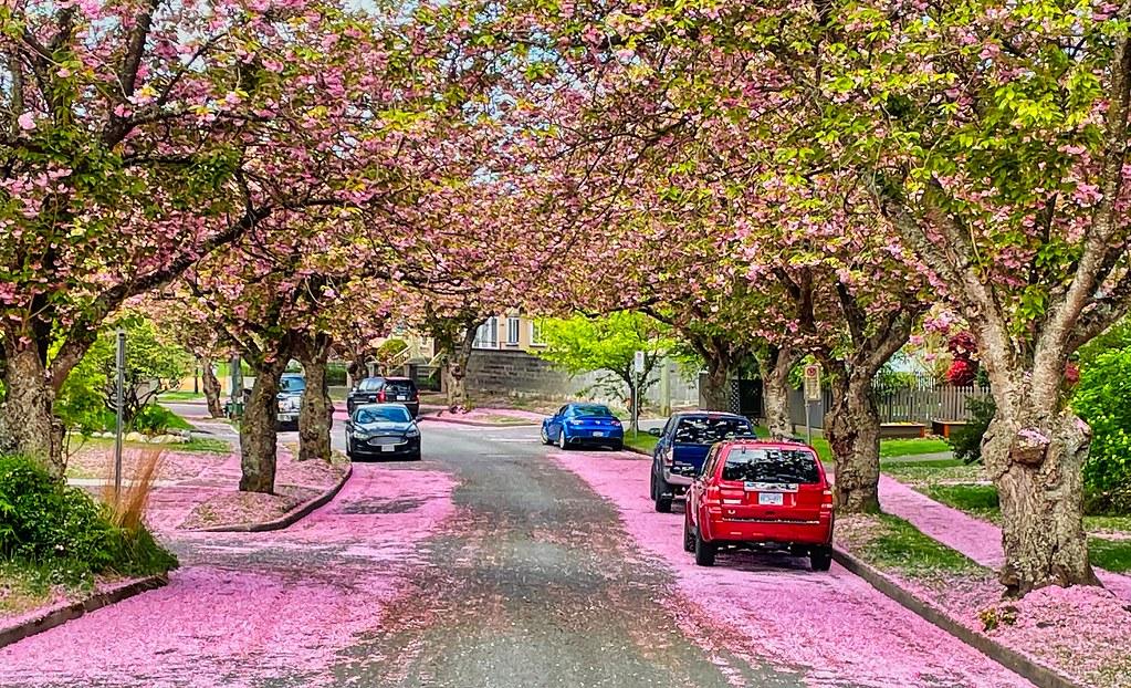 2021 - Vancouver - Cherry Blossom Snow - 2 of 2