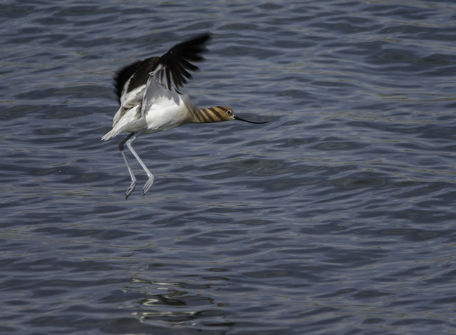 American Avocets are back