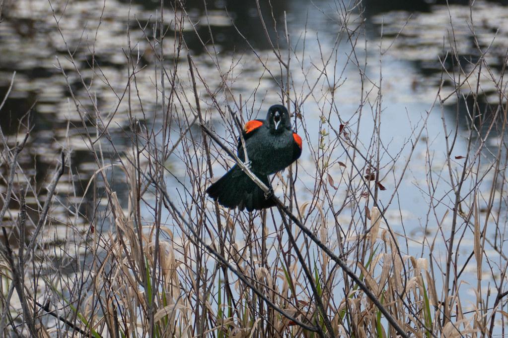 Blackbird Serenade