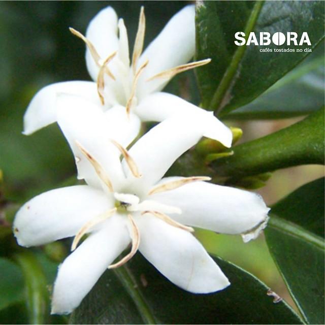 Flores da cafeeira