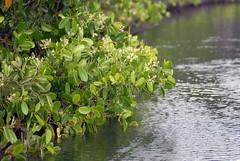 008 Ecuador 3 Galapagos Puerto Ayora Mangroves