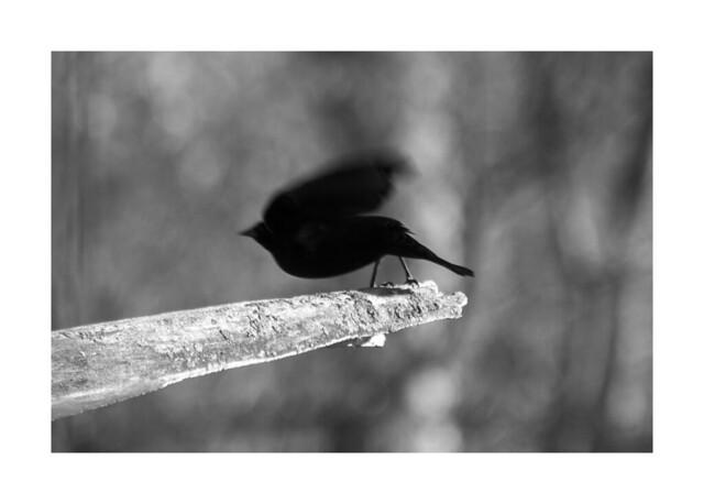 Black Bird Taking Off