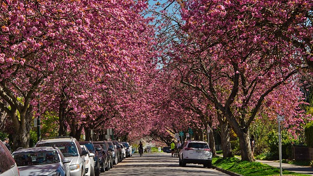 2021 - Vancouver - Cherry Blossoms on 10th - 1 of 2