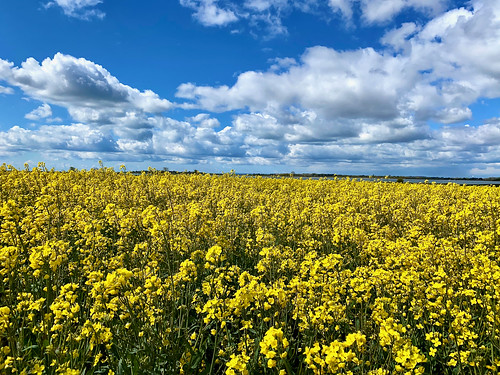 golden field rapeseed crop farm walk walking hiking weather sky clouds blue iphone iphone11 cameraphone camera phone landscape outdoors westsussex