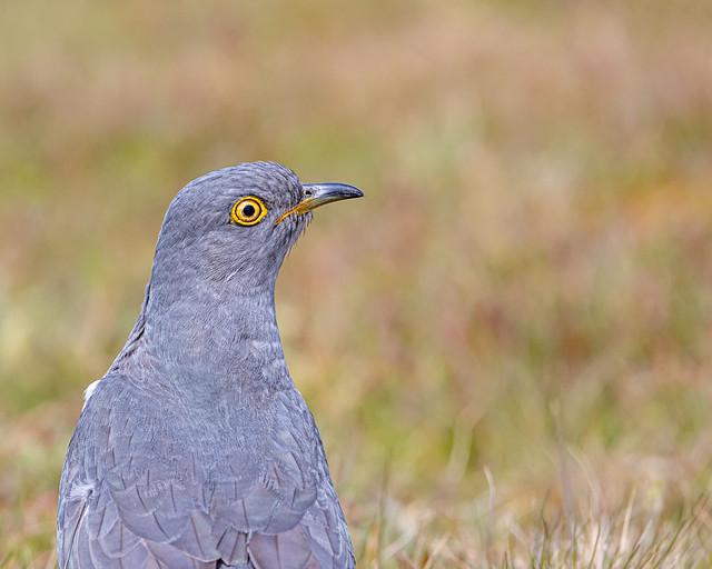 Cuckoo Close-up