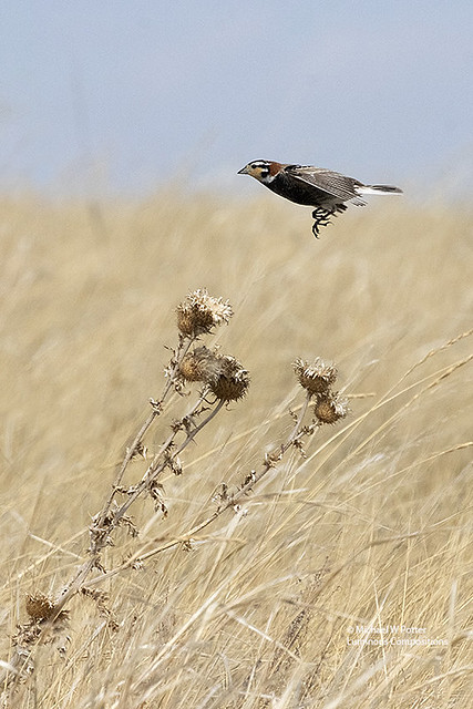 Chestnut-collared Longspur male about to land