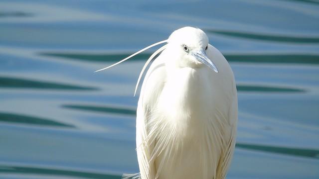 Ένας Λευκοτσικνιάς στο λιμάνι του Νυδριού