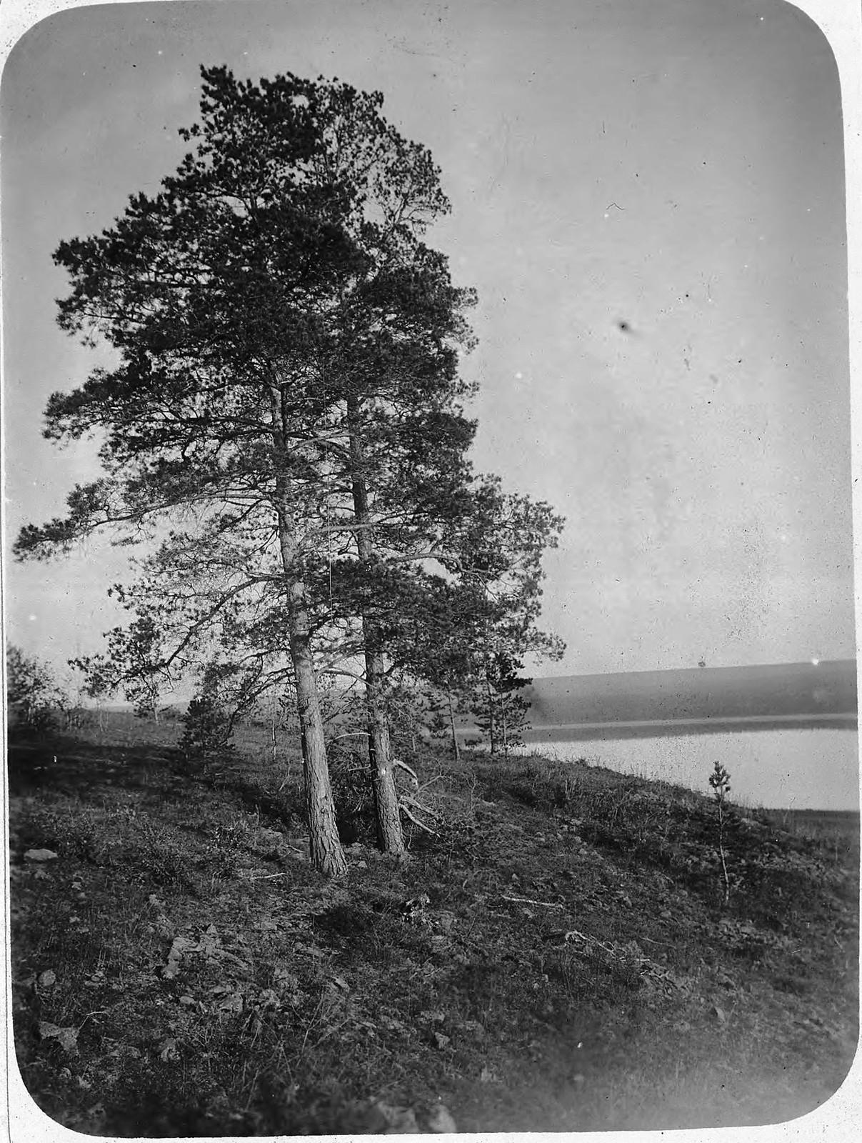 Сосны на берегу реки Лены
