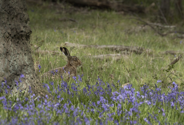 Brown hare in bluebells