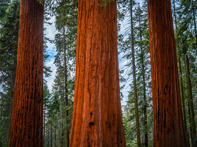 General Sherman Trail Giant Sequoias! Sequoia Kings Canyon National Park Giant Sequoia Trees Fuji GFX100 Fine Art California Landscape Nature Photography! Kings Canyon & Sequoia National Park Elliot McGucken Fine Art Fujifilm GFX100 Photography !