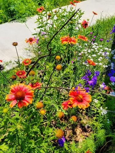 pandemic garden starting to bloom 018