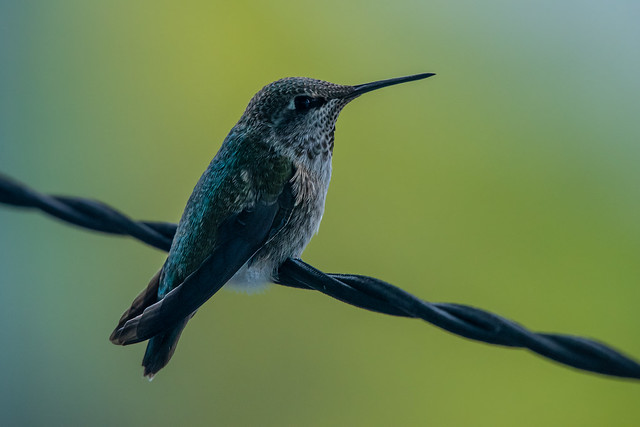 My little Anna's Hummingbird. She sat like this for over an hour this morning. (_K115053)