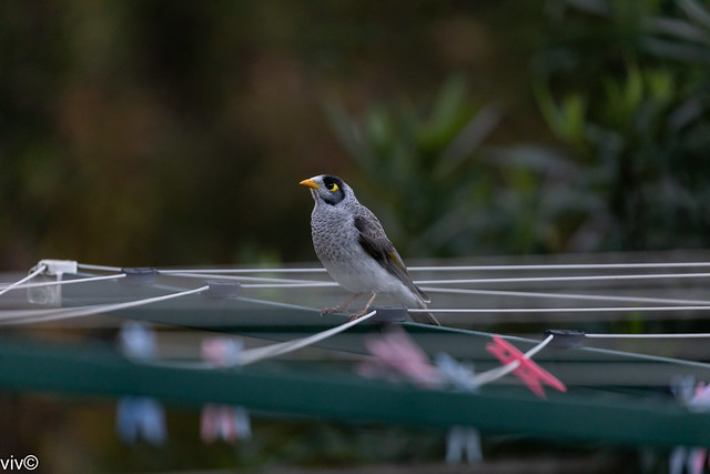 Aggressive Noisy Miner on dusk watch for territory intruders