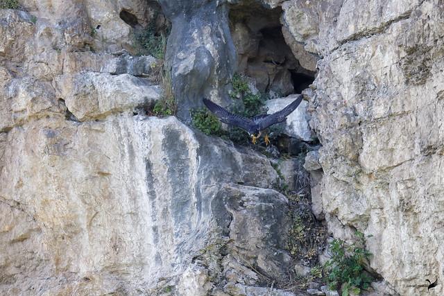 Faucon pèlerin Falco peregrinus - Peregrine Falcon  1790_DxO