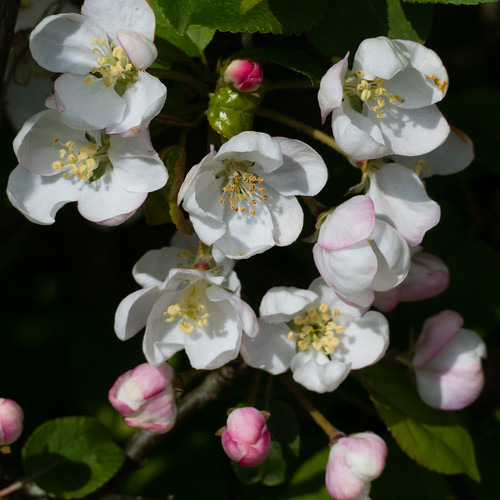 Apple flowers in a  hedge