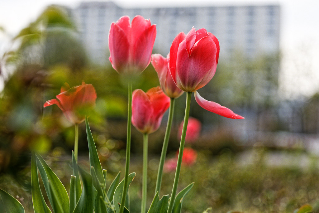 Pink tulips and the city