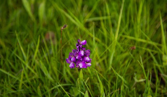 Orchidée des prairies !