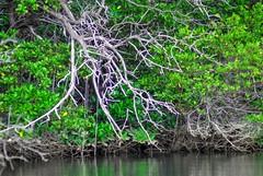 009 Ecuador 3 Galapagos Puerto Ayora Mangroves