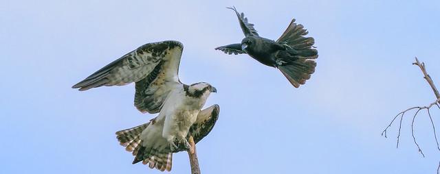 Crow vs Osprey