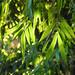 Enlightened Guadua Angustifolia Green Bamboo Leaf