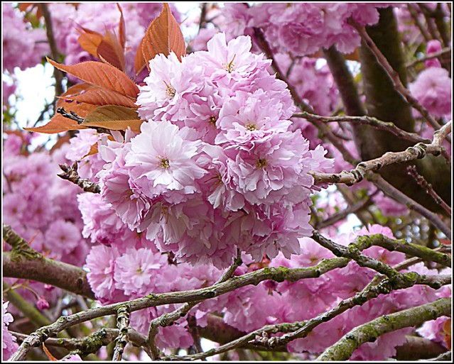 Pink Blossom Close Up ..