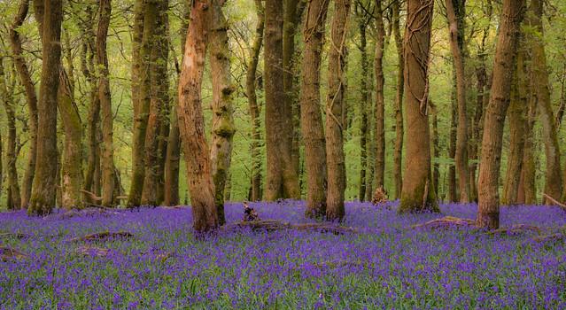 Plym valley bluebells