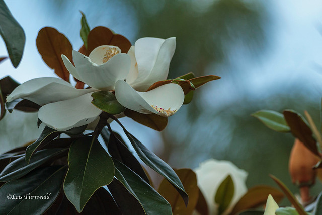 Cycle of a Magnolia Blossom