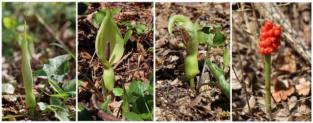 Entwicklung: Der Aronstab, eine geniale hinterhältige Pflanze · Development: The arum, an ingenious devious plant