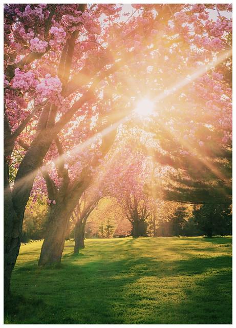 126/365: Sakura Sunset