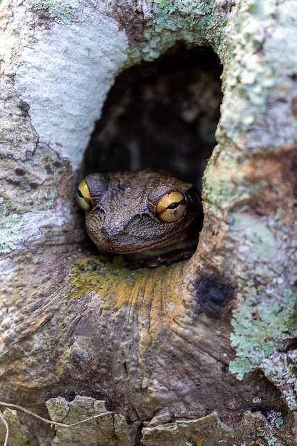 Cuban Treefrog - Sawgrass Lake Park (1)
