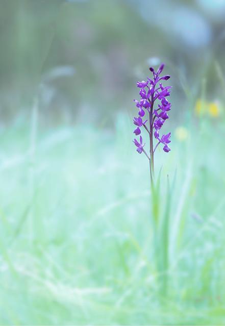 Orchis à fleurs lâches!