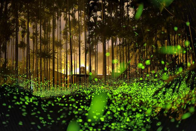 螢火蟲  firefly,Lampyridae