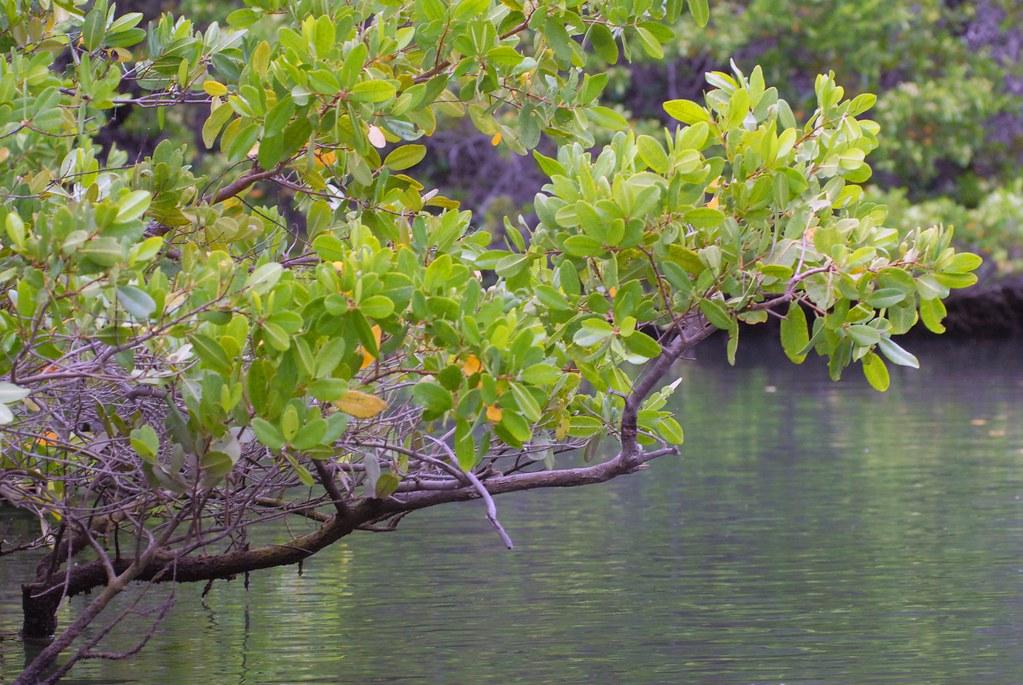 007 Ecuador 3 Galapagos Puerto Ayora Mangroves
