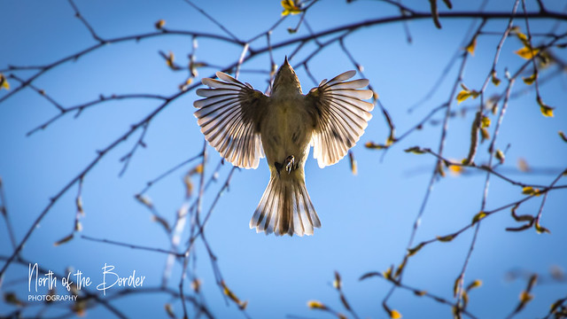 Graceful as a ChiffChaff
