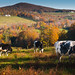Dairy Cattle in Vermont