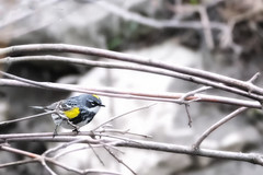 Yellow-rumped Warbler May 7