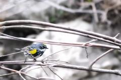 Yellow-rumped Warbler May 7