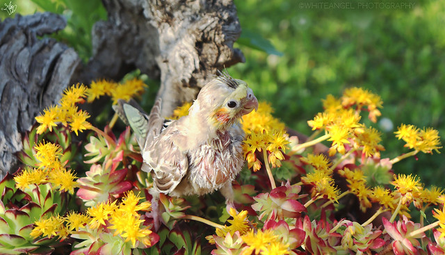 Camouflage! My cockatiel puppy Sconsy among the flowers. Macro ph. by #WhiteANGEL