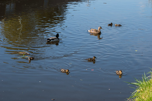 Mallard family with ducklings and drake, Castlecroft