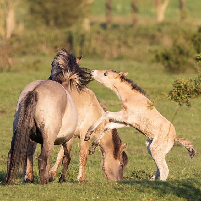 Foal plays for hairdresser