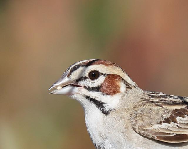 1DX31367 Lark Sparrow. Backyard in Corona CA